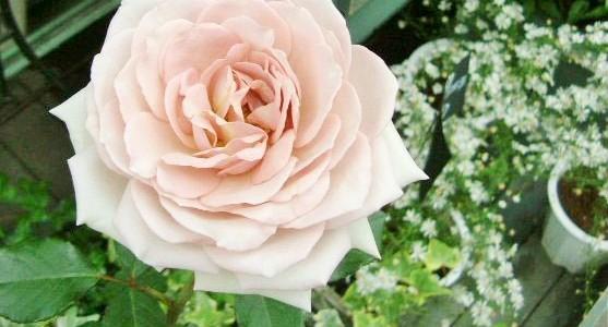 バラの鉢・ダイヤモンドグレー