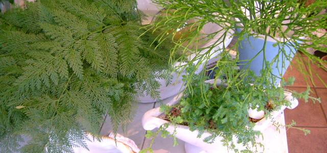 エコールグレースポットにクラマ苔を植えて。