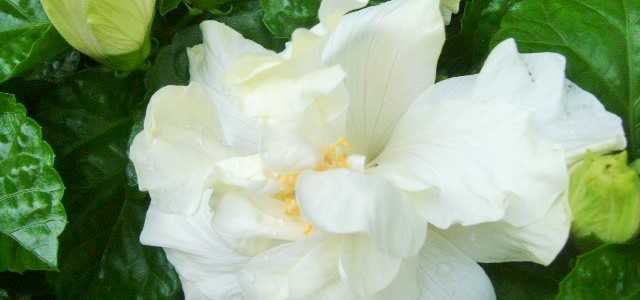 八重の白いハイビスカス