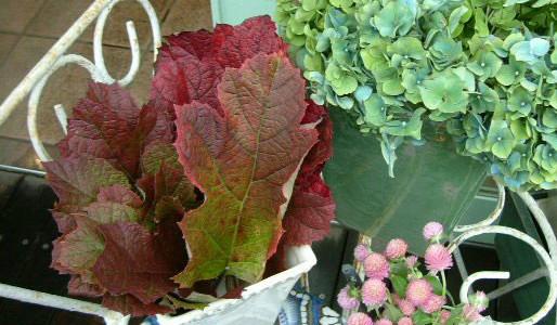 紅葉かしわと秋色紫陽花